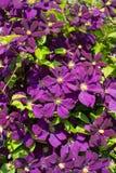 Purpur clematis Royaltyfria Bilder