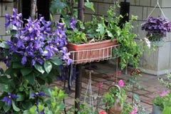 Purpur clematis Royaltyfri Foto