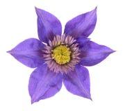 Purpur clematis Royaltyfria Foton