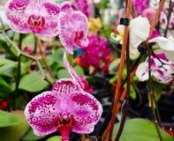 Purpur in den Orchideen Stockfotografie