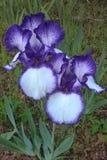purpur färgstänk Arkivbilder
