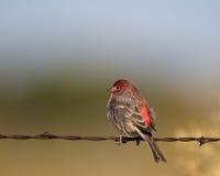 Purpur Finch, Carpodacuspurpureus Arkivfoton