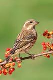 Purpur Finch (Carpodacuspurpureusen) Royaltyfri Foto