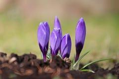 Purpur, fiolet Krokusse. Stockfotografie