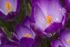purpur fjäder Royaltyfri Bild