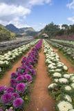 Purpur i białych Ornamentacyjne kapust rośliny w kwiatu garnku przy Doi Fotografia Royalty Free