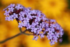 Purpur i kolor żółty kwiaty fotografia royalty free