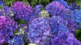 Purpur i menchii hortensji hortensja, wiele jaskrawi kolory z zielonymi li??mi zbiory wideo