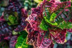 Purpur i zieleni liścia ulistnienia roślina fotografia stock
