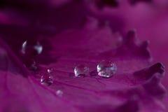 Purpur kål Royaltyfri Foto