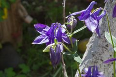 Purpur Klocka blomma royaltyfria foton