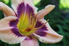 Purpur, koloru żółtego i Białego Daylily, Zdjęcie Stock