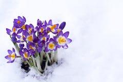 Purpur krokus för tidig fjäder i snow Arkivfoton