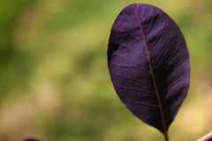 Purpur leaf Arkivbild