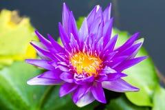 Purpur lotusblomma royaltyfria foton