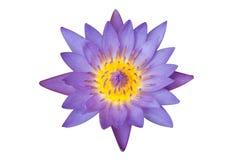 Purpur lotusblommablomma Royaltyfri Fotografi