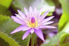 Purpur lotusblommablomma Fotografering för Bildbyråer