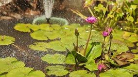 Purpur menchie nawadniają Nymphaea w stawie z fontanną ogrodowa woda Kiści kropelki zbiory