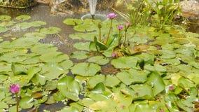Purpur menchie nawadniają Nymphaea w stawie z fontanną ogrodowa woda piękny kwiat Wietnam zbiory wideo