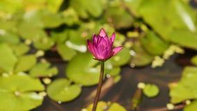 Purpur menchie nawadniają Nymphaea w stawie z fontanną ogrodowa woda piękny kwiat Wietnam zdjęcie wideo