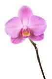 Purpur orchid Royaltyfri Foto