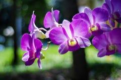 Purpur orchid i trädgård Royaltyfri Bild