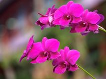 Purpur Orchidblomma Royaltyfria Bilder