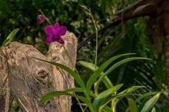 Purpur Orchidblomma Royaltyfri Foto