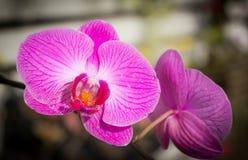 Purpur Orchidblomma Arkivfoto