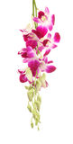 Purpur Orchidblomma Royaltyfria Foton