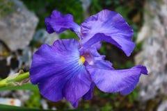Purpur Orchidblomma Arkivfoton