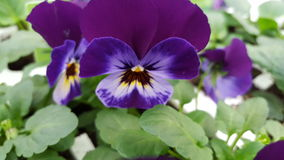 Purpur pansy Royaltyfria Foton