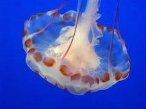 Purpur Pasiaści Jellyfish Obrazy Stock