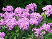 Purpur Phlox Royaltyfria Bilder