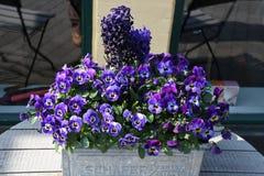 PURPUR SNOWDRPS kwiaty Zdjęcia Royalty Free