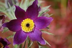 purpur stjärna Royaltyfria Bilder