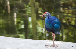 Purpur swamphen Vogel Stockfoto