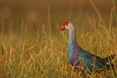 Purpur swamphen Vogel stockbild