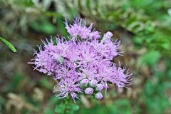 purpur thistle royaltyfri fotografi