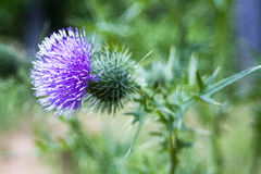 purpur thistle Royaltyfri Bild