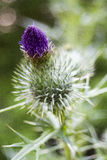 purpur thistle Fotografering för Bildbyråer