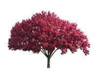 Purpur Tree som isoleras på en vit bakgrund Arkivbild