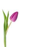 purpur tulpanwhite för bakgrund Arkivbild