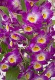 Purpur und gelbe Dendrobium-Orchidee lizenzfreie stockfotos