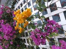 Purpur und gelbes Bouganvilla stockbild