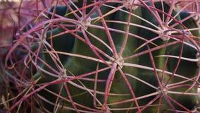 Purpur und grüner Kaktus - schließen Sie oben lizenzfreies stockfoto