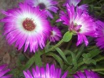 Purpur und Weiß Blumen des Frühlinges Lizenzfreie Stockfotos