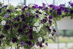 Purpur- und weißehängende Blumen stockfotografie