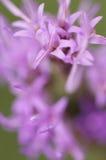 purpur vildblomma Royaltyfria Bilder
