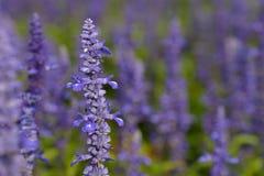 purpur vis man Fotografering för Bildbyråer